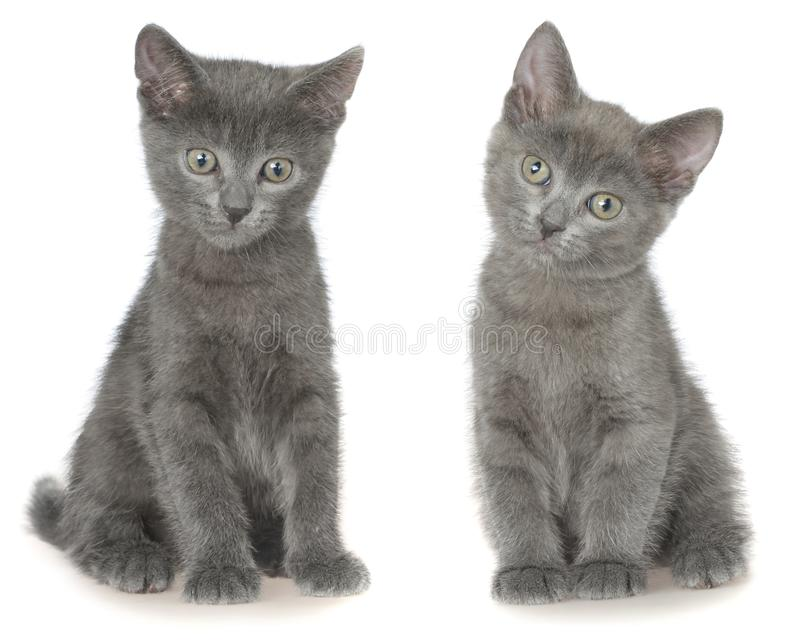 Dwa shorthair figlarki mały szary obsiadanie odizolowywający zdjęcia royalty free