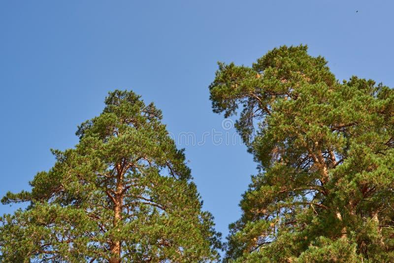 Dwa sosny przeciw niebu zdjęcie royalty free