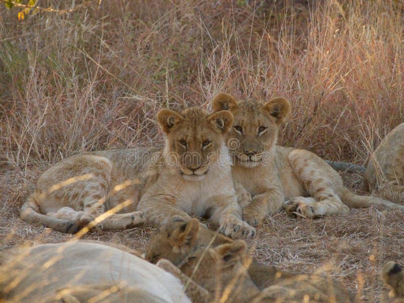 Dwa starego lwa lisiątka zdjęcie royalty free