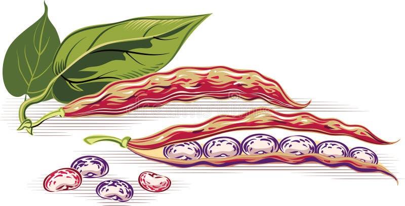 Dwa strąka fasole royalty ilustracja
