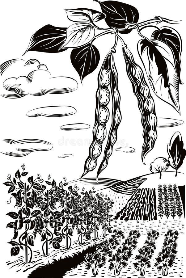 Dwa strąka fasole i pole kultywujący ilustracja wektor