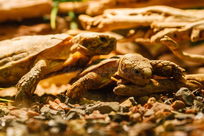Dwa Sulcata Tortoises matuje czerwoną lampę zdjęcie royalty free
