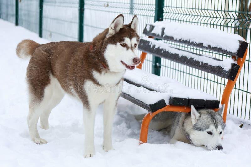 Dwa Syberyjski husky, jeden chuje pod ławką obrazy stock