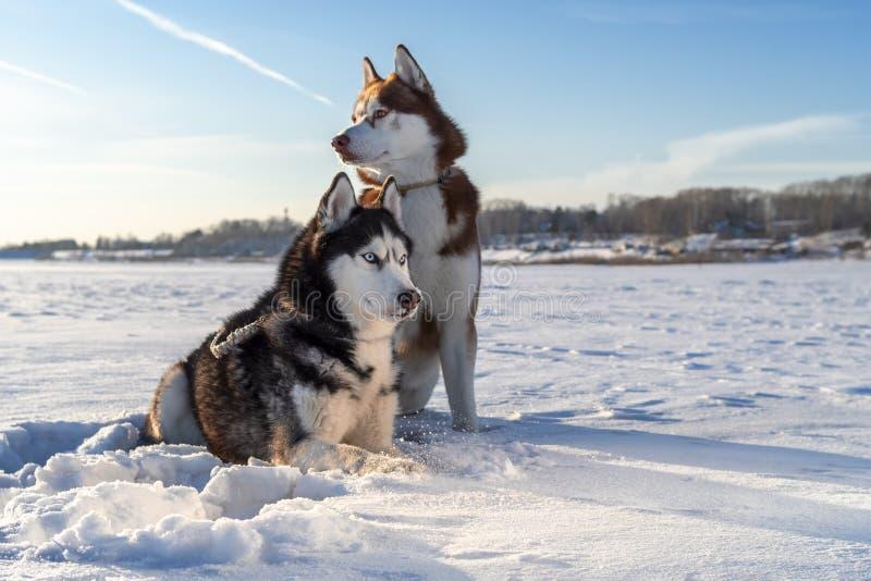 Dwa Syberyjskiego husky psów spojrzenia wokoło Snowy White tło jasne futerkowy na czerwony słońca zachód słońca na zimę drzewa zdjęcie stock