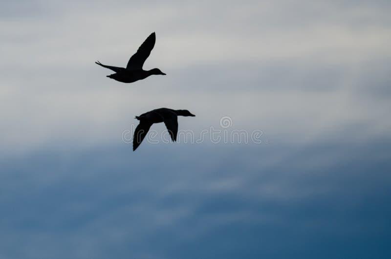 Dwa Sylwetkowej kaczki Lata w Pięknym zmierzchu niebie obraz stock