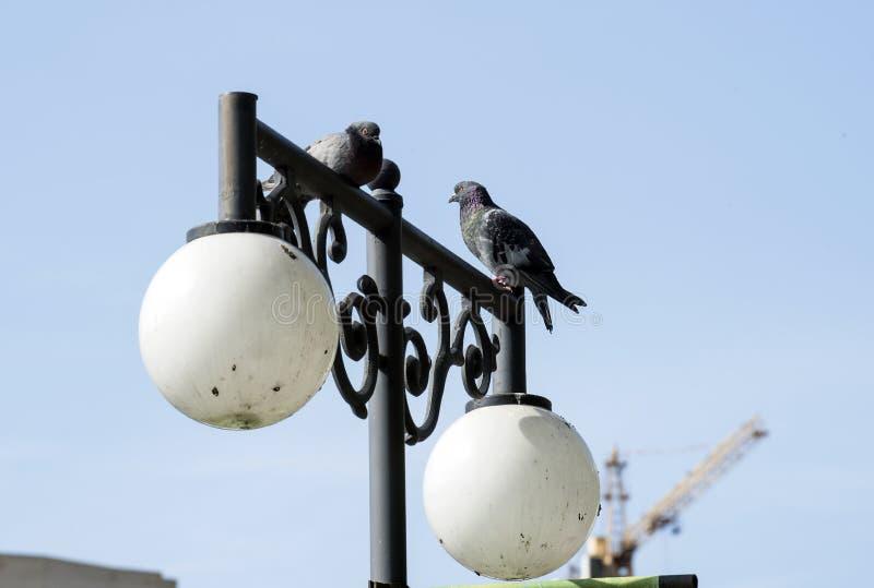 dwa szarego gołębia siedzą na fałszującym projekcie lampion obrazy stock