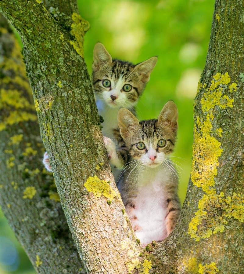 Dwa szarość figlarka w drzewie zdjęcia stock