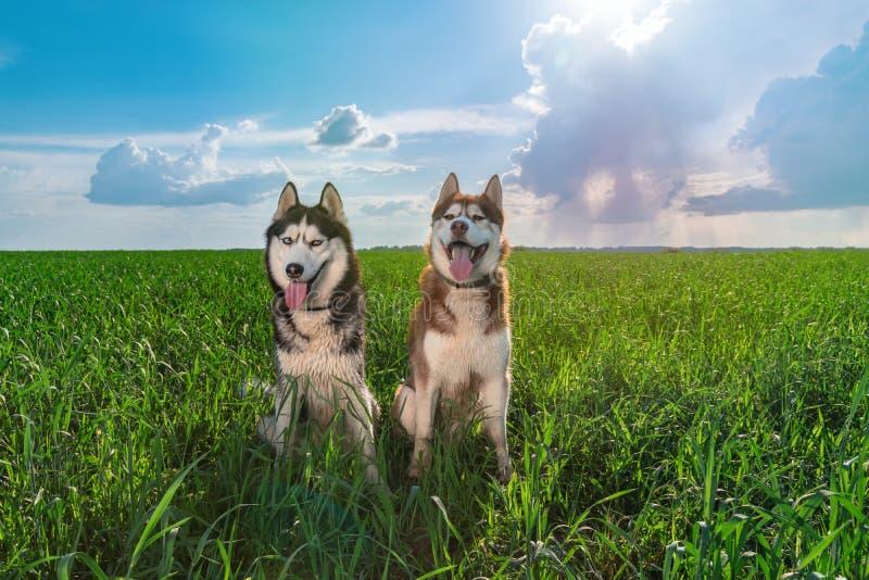 Dwa szczęśliwego uśmiechniętego siberian husky psa siedzi bocznych bu popierają kogoś na lato zieleni łące przeciw niebieskiemu n obraz royalty free