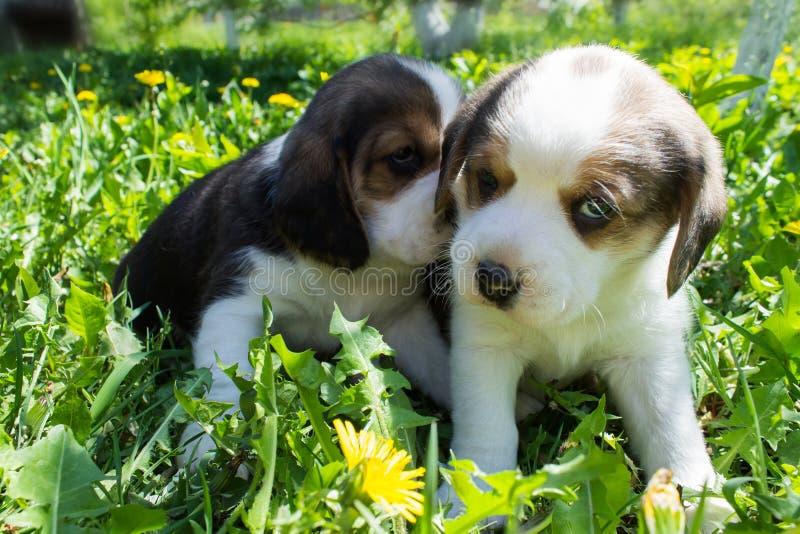 Dwa szczeniaków Beagle obsiadanie w trawie obraz stock