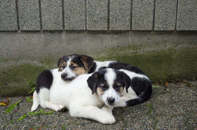 Dwa szczeniaków męczący odpoczynek po bawić się fotografia royalty free