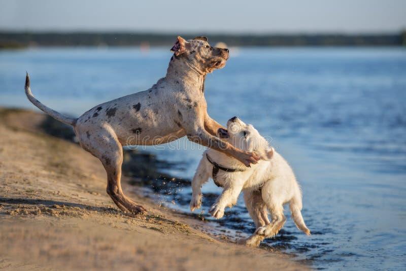 Dwa szczeniaka bawić się na plaży fotografia royalty free