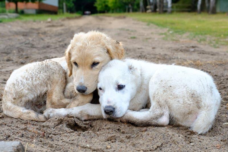Dwa szczeniaka przybłąkani psy kłamają na ziemi z ich głowami each inny zdjęcie royalty free