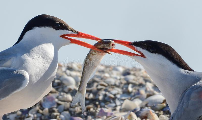 Dwa terns fotografia stock