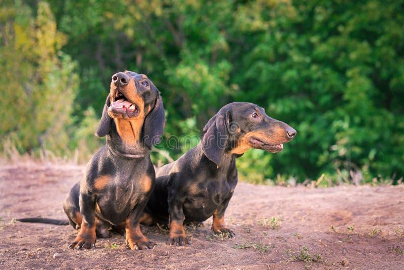 Dwa trakenów psi jamnik, czarny i dębny, stoi ich jęzor za ono uśmiecha się przeciw tłu zieleni drzewa w parku w lecie obraz royalty free