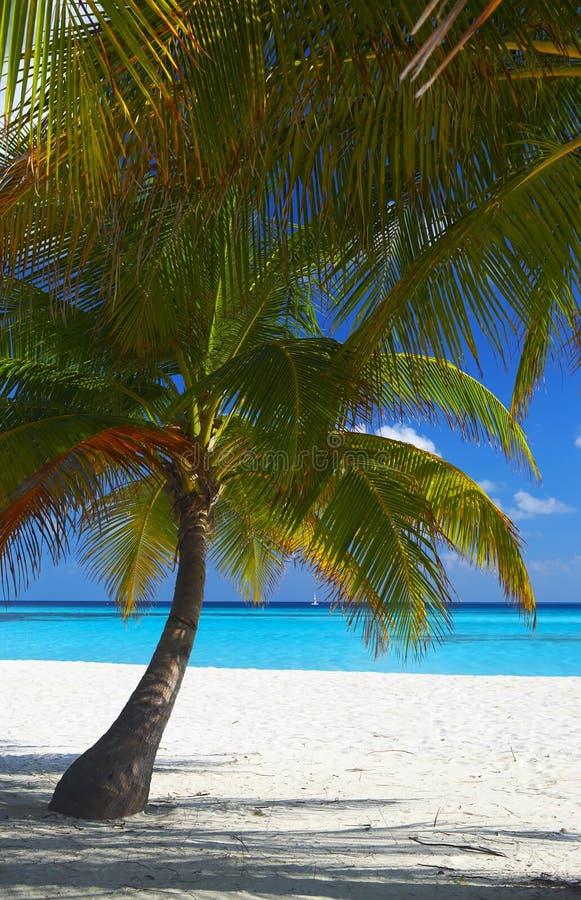 dwa tropikalnych plażowe dłonie fotografia royalty free