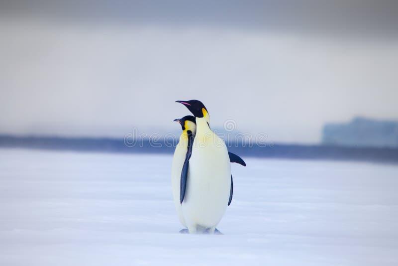 Dwa trwanie cesarza pingwinu w Weddell morzu zdjęcia stock