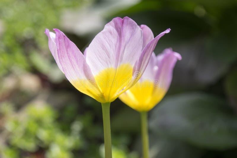 Dwa tulipa saxatilis lily cud w kwiacie fotografia royalty free