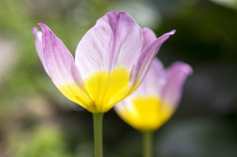 Dwa tulipa saxatilis lily cud w kwiacie obraz stock