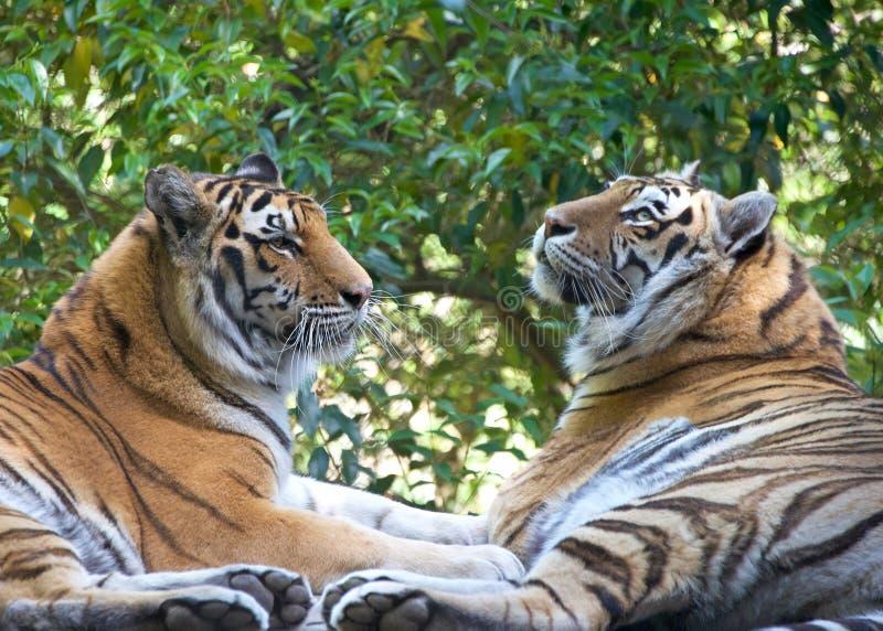 Dwa tygrysa stawia czoło each inny obrazy stock