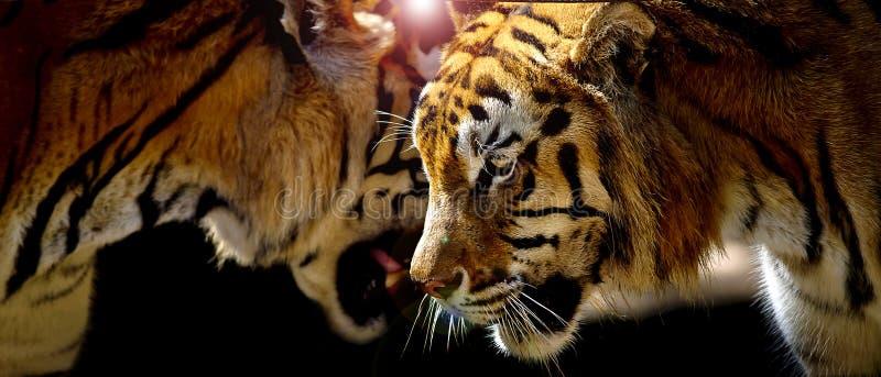 Dwa tygrysa w ich naturalnym środowisku obraz royalty free