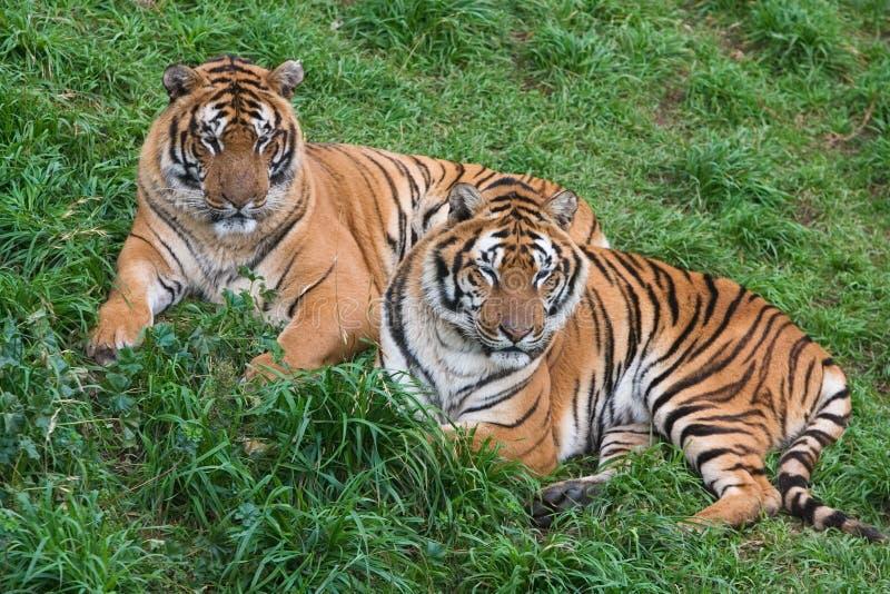 dwa tygrysy obrazy royalty free