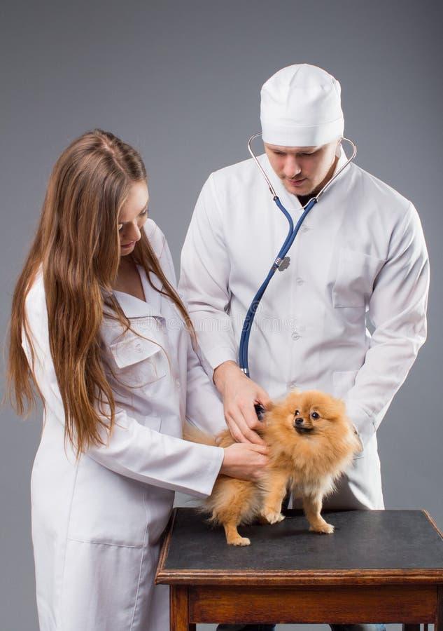 Dwa weterynarza trzyma ślicznego pomeranian psa z fonendoskopem zdjęcie stock