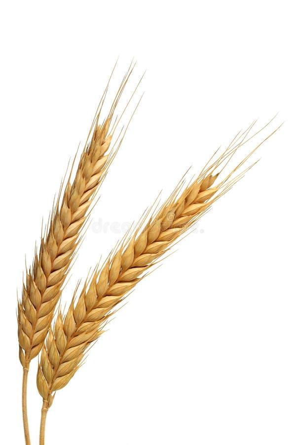 Dwa wheats obrazy royalty free