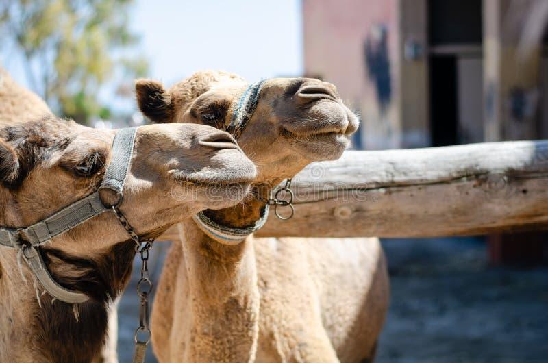 Dwa wielbłądów park w Cypr przy zoo zdjęcie stock
