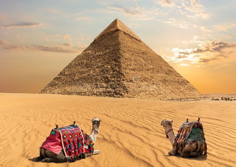 Dwa wielbłąda blisko ostrosłupa Chephren, Egipt fotografia royalty free
