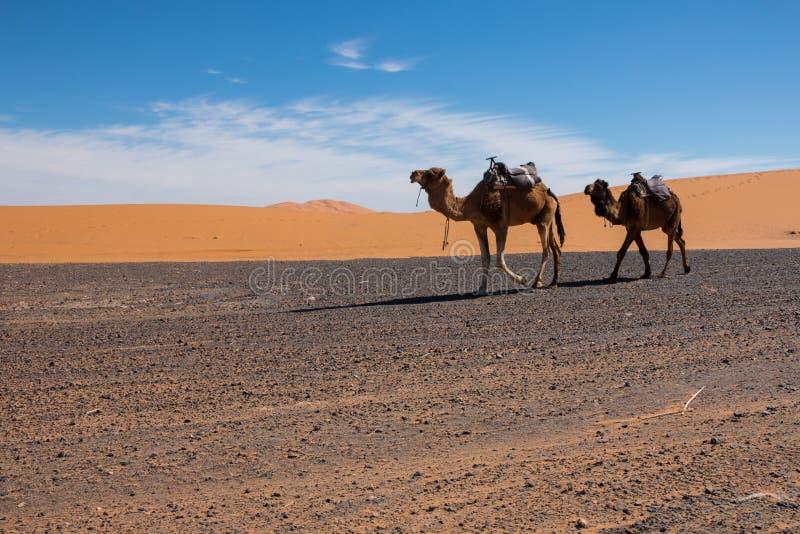 Dwa wielbłąda chodzą erga Chebbi pustynię w kierunku Merzouga, Maroko zdjęcie royalty free