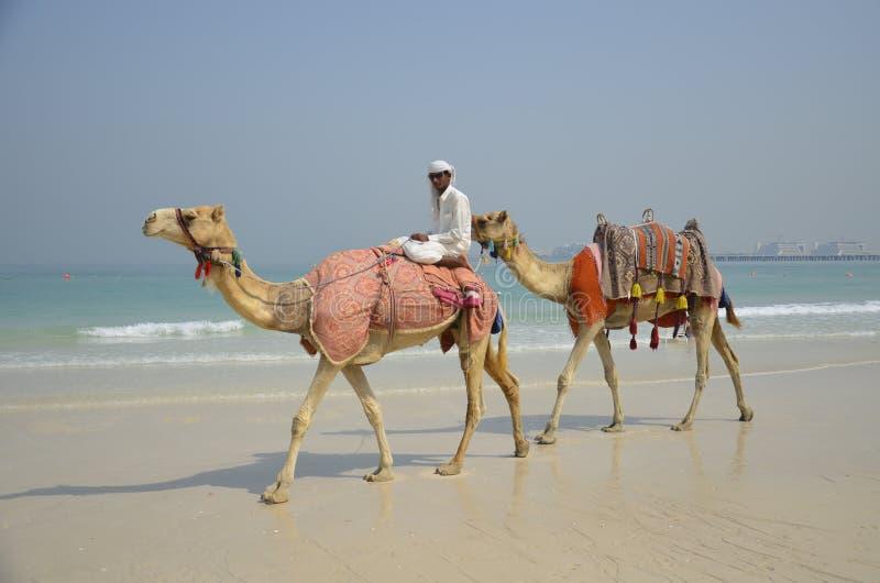 Dwa wielbłąda na plaży w Dubaj zdjęcia royalty free