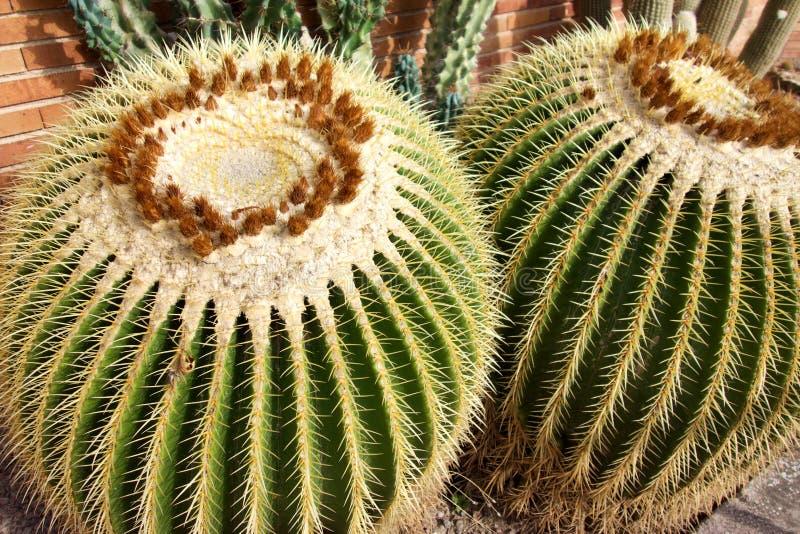 Dwa Wielki Złoty Lufowy kaktus obraz stock