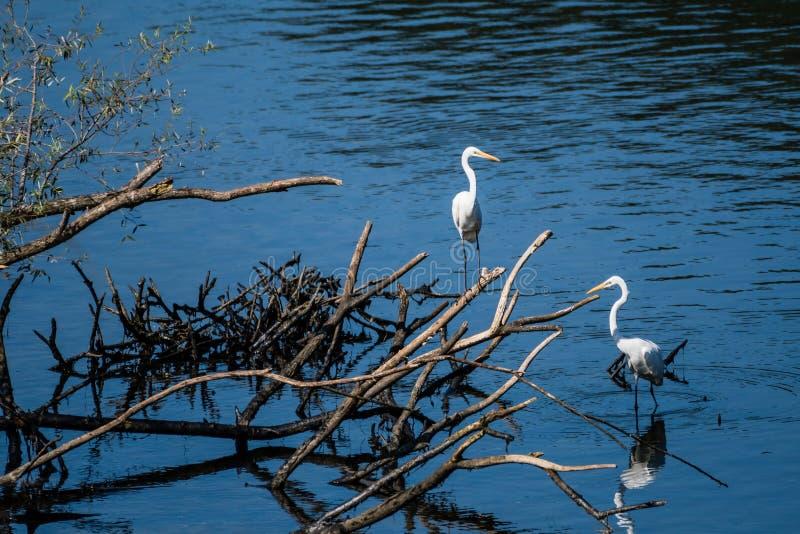 Dwa wielkiego białego egrets dzieli stos dryftowy drewno zdjęcia royalty free