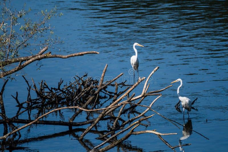 Dwa wielkiego białego egrets dzieli stos dryftowy drewno zdjęcia stock
