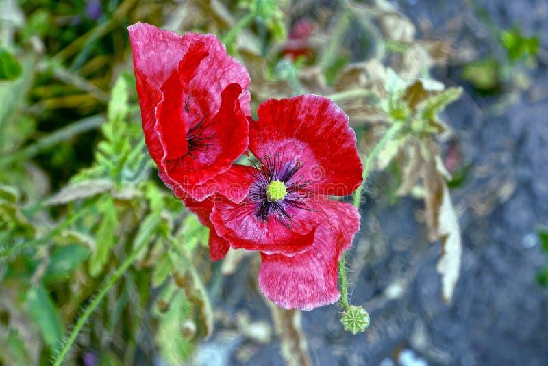 Dwa wielkiego pączka kwiatonośny maczek outdoors w naturze fotografia royalty free