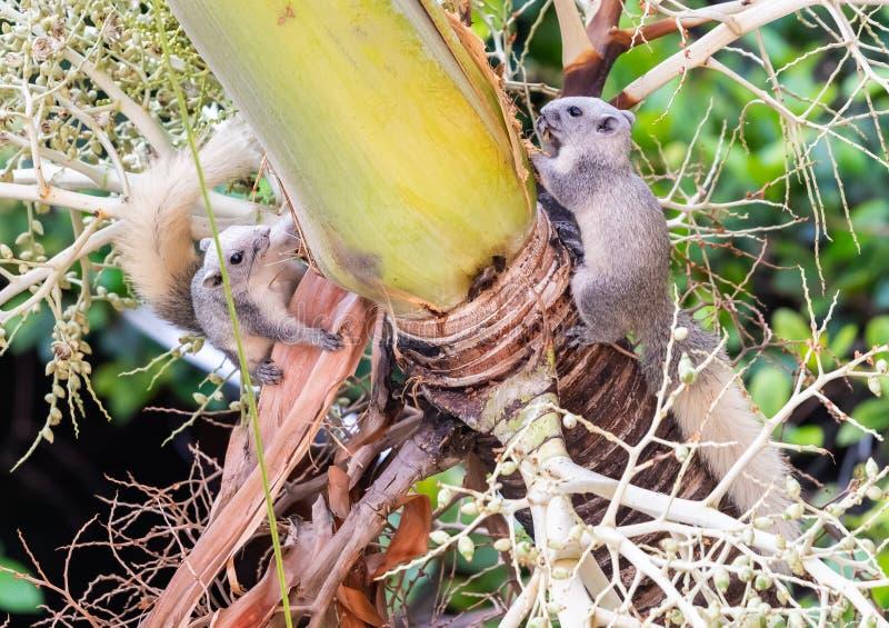 Dwa wiewiórki ogryza liścia sheath na drzewku palmowym zdjęcia royalty free