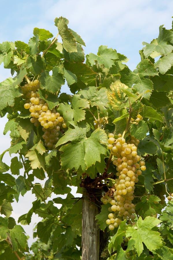 dwa winogrona obraz royalty free