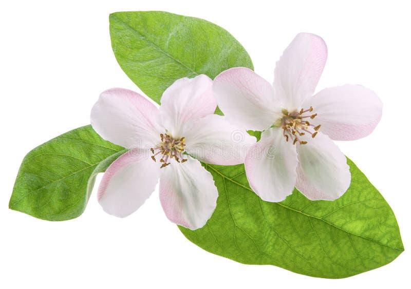 Dwa wiosny różowa pigwa, bonkrety drzewa kwiat lub zielony świeży liść odizolowywający na białym tle z ścinek ścieżką, w górę zdjęcie royalty free
