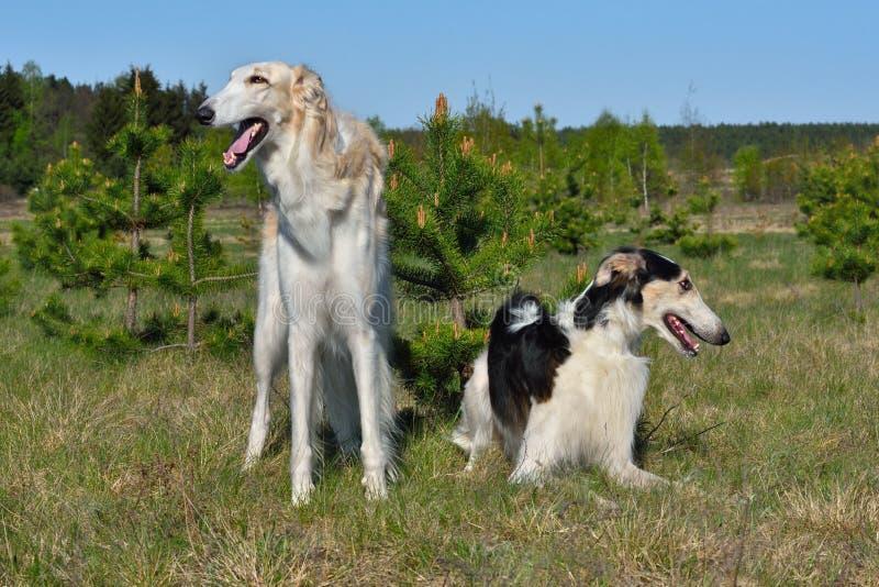 dwa wolfhounds rosyjskiego obrazy royalty free