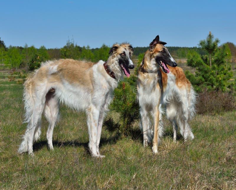 dwa wolfhounds rosyjskiego fotografia royalty free