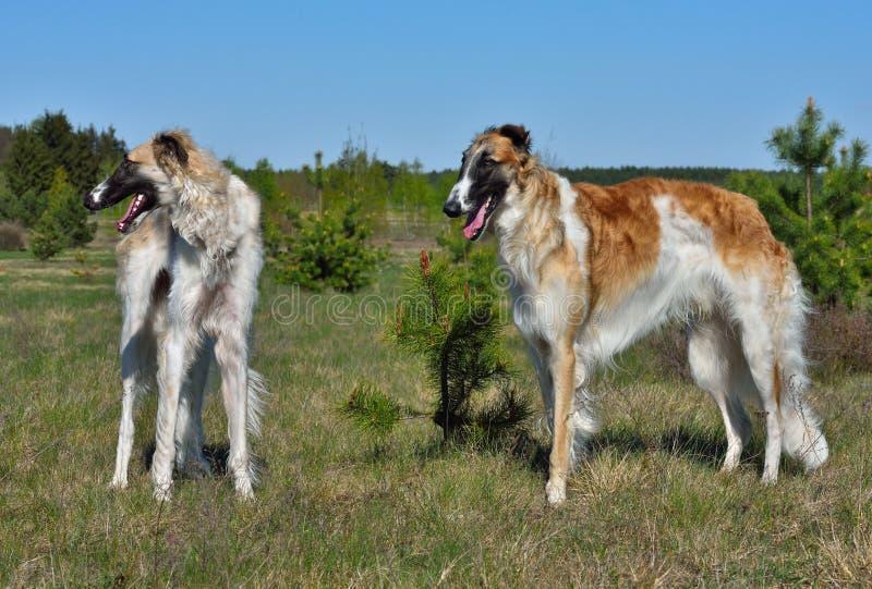 dwa wolfhounds rosyjskiego obrazy stock