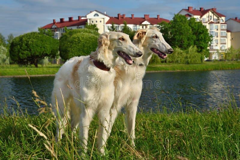 dwa wolfhounds rosyjskiego obraz royalty free