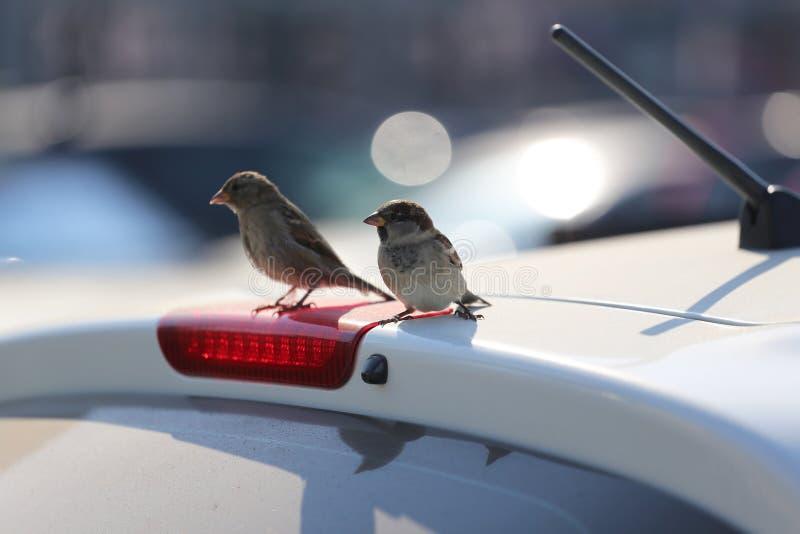 Dwa wróbla siedzi na dachu samochód obraz stock