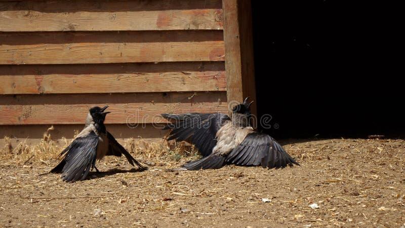 Dwa wrony w śmiesznych possitions zdjęcie royalty free