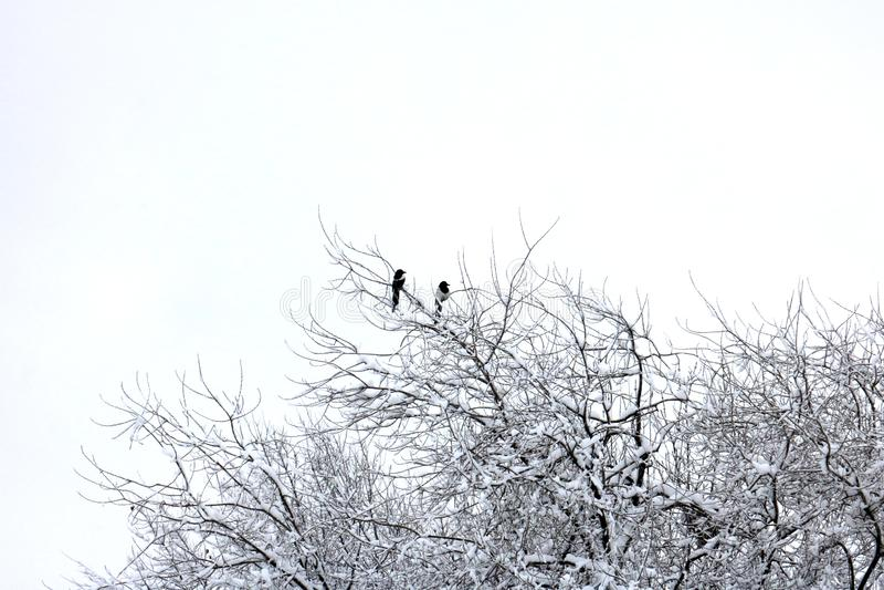 Dwa Wystawiająca rachunek sroka Umieszczająca na Śnieżnej gałąź zdjęcie royalty free
