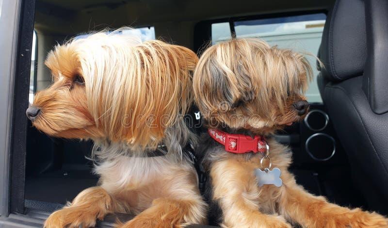 Dwa Yorkshire Terrier psa Patrzeje z okno zdjęcie stock