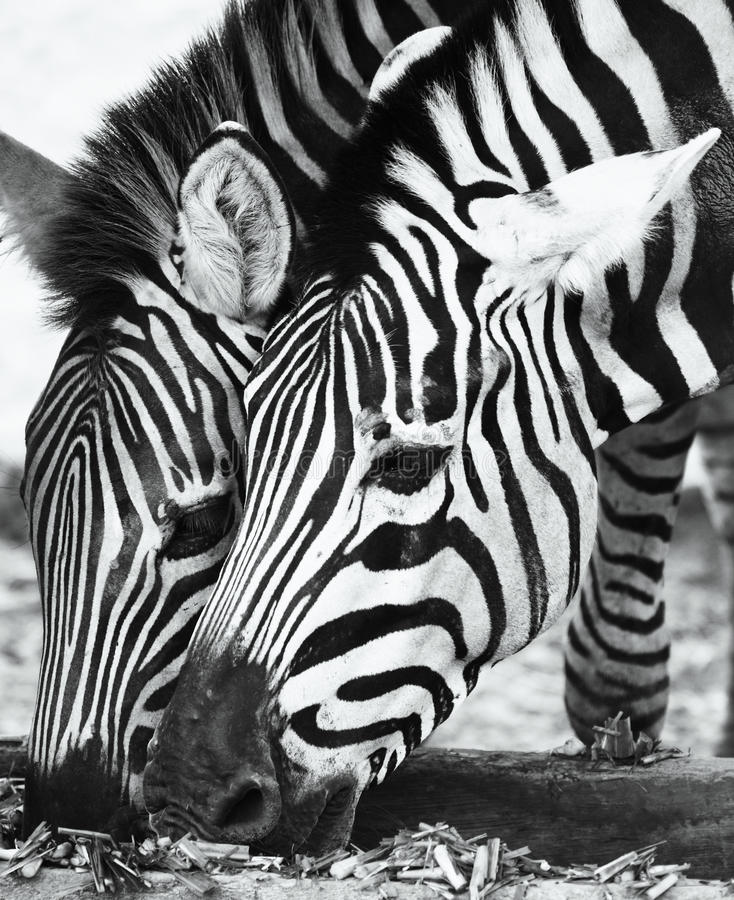 dwa zebry zdjęcie stock