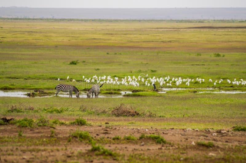 Dwa zebry która piją w jeziorze w sawanny równinie Ambosel zdjęcie royalty free