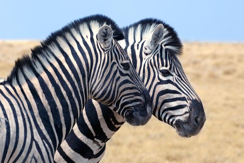 Dwa zebry stoją obok siebie zbliżenie w sawannie, safari w Etosha parku narodowym, Namibia, afryka poludniowa obrazy royalty free