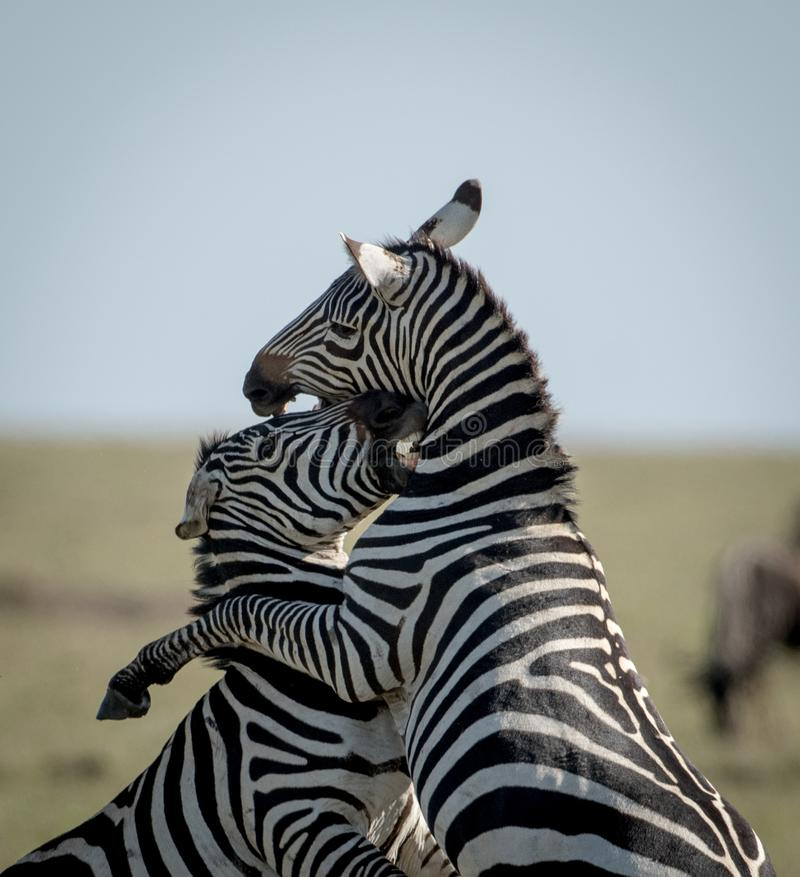 Dwa zebry walczy w Masai Mara fotografia royalty free